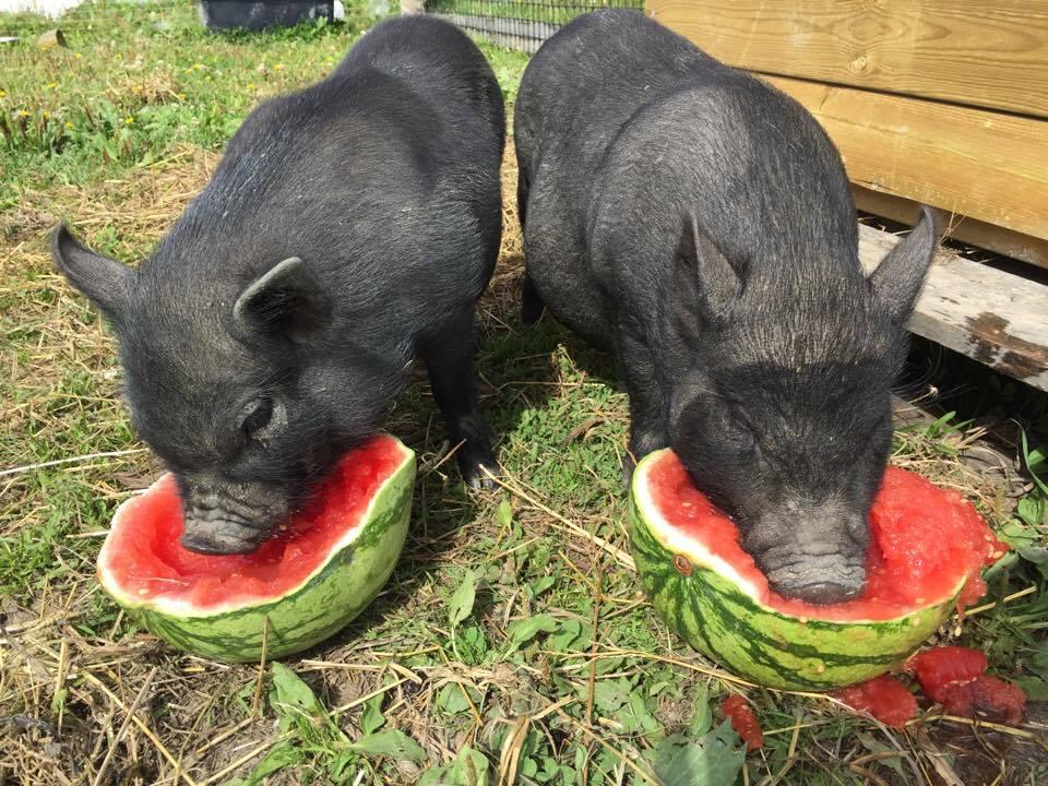 Søte små griser som spiser melon og har lyst på en dyrefadder